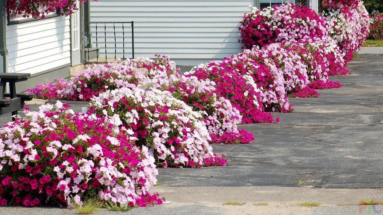 Фото вьющейся цветы для клумбы
