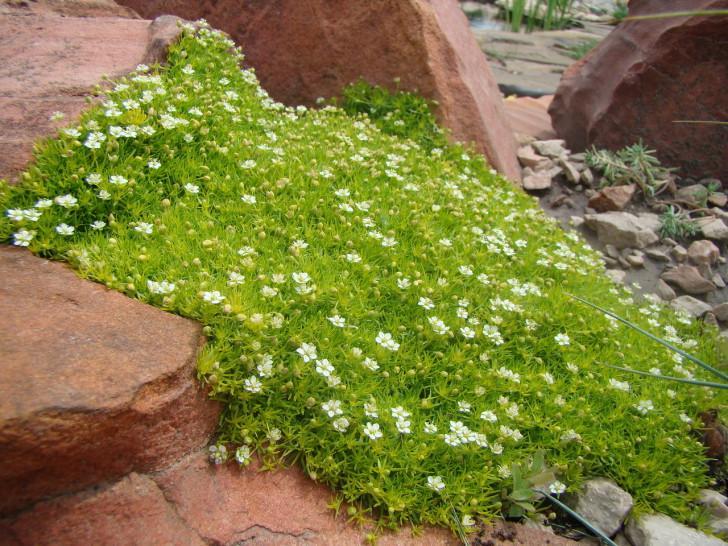 Стелющиеся ковровые растения
