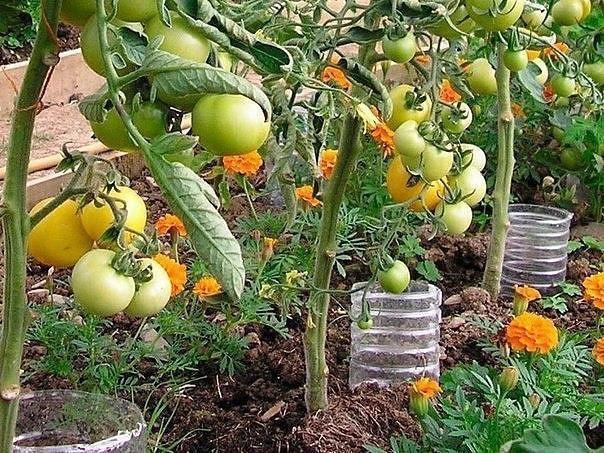 Капельный полив из пластиковых бутылок 🚿 своими руками для огурцов и помидор