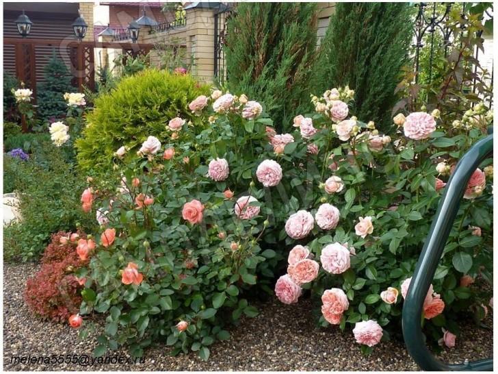 Розы пастельных тонов