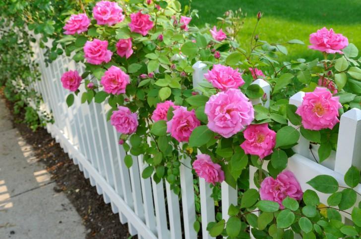 Розы вдоль изгороди