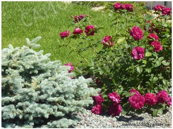 Розы у газона
