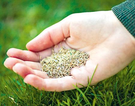 Трава для газона: обзор идеальных сортов   фото с названиями